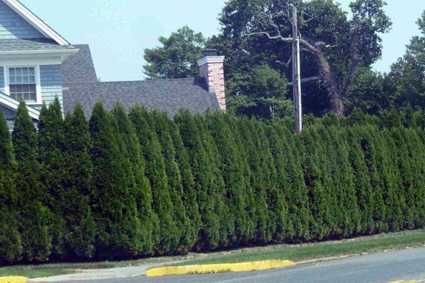 Thuja-Emerald-hedge