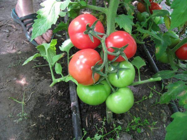 Udobrenie-dlya-tomatov-3