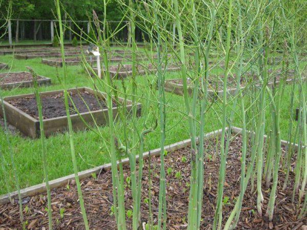 asparagus-002-1