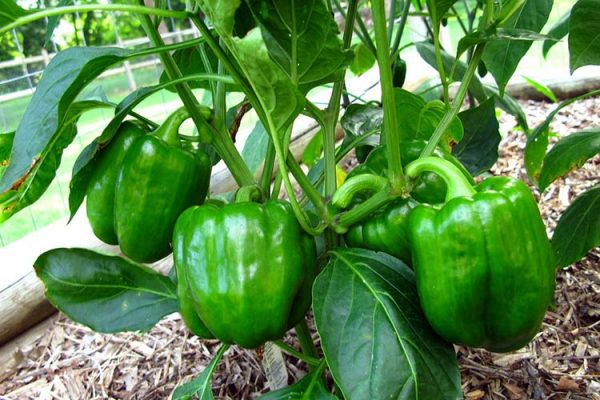 bell-peppers-big