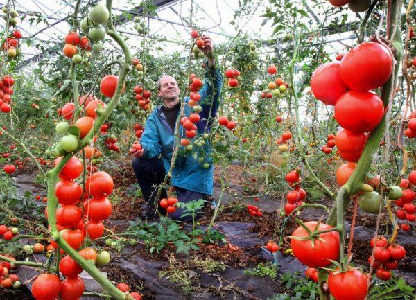 chem_polit_pomidory_chtoby_bystree_krasneli.jpg.crop_display
