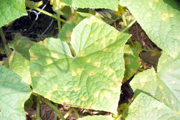 cucumber-yellow-leaf-big