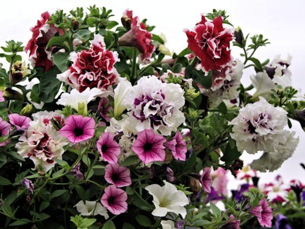 cvetnik-v-ijule-petunia-conteyner