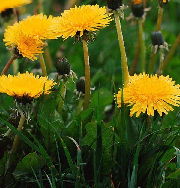 cvetut-oduvanchiki