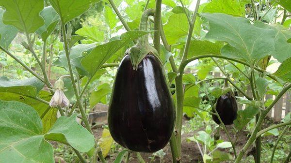 eggplant-1610434_640