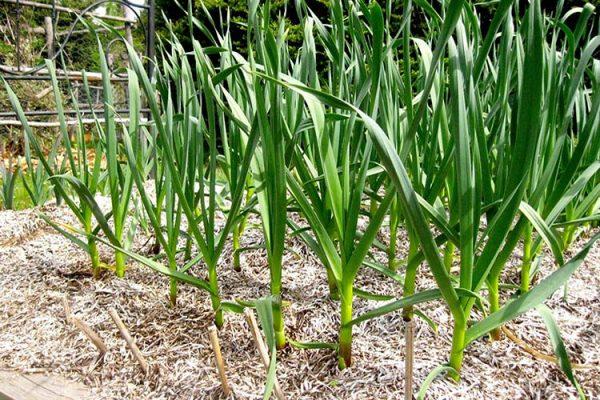 garlic-growing