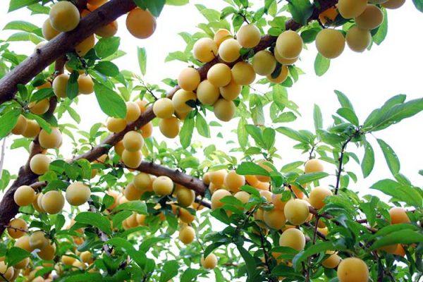 golden-plums-big