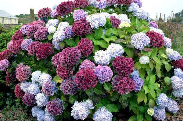 hydrangea-bush-colorful-983x650