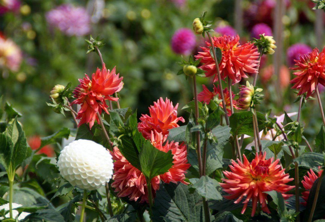 Картинки по запросу Двулетние цветы - фото, виды, сроки посева.