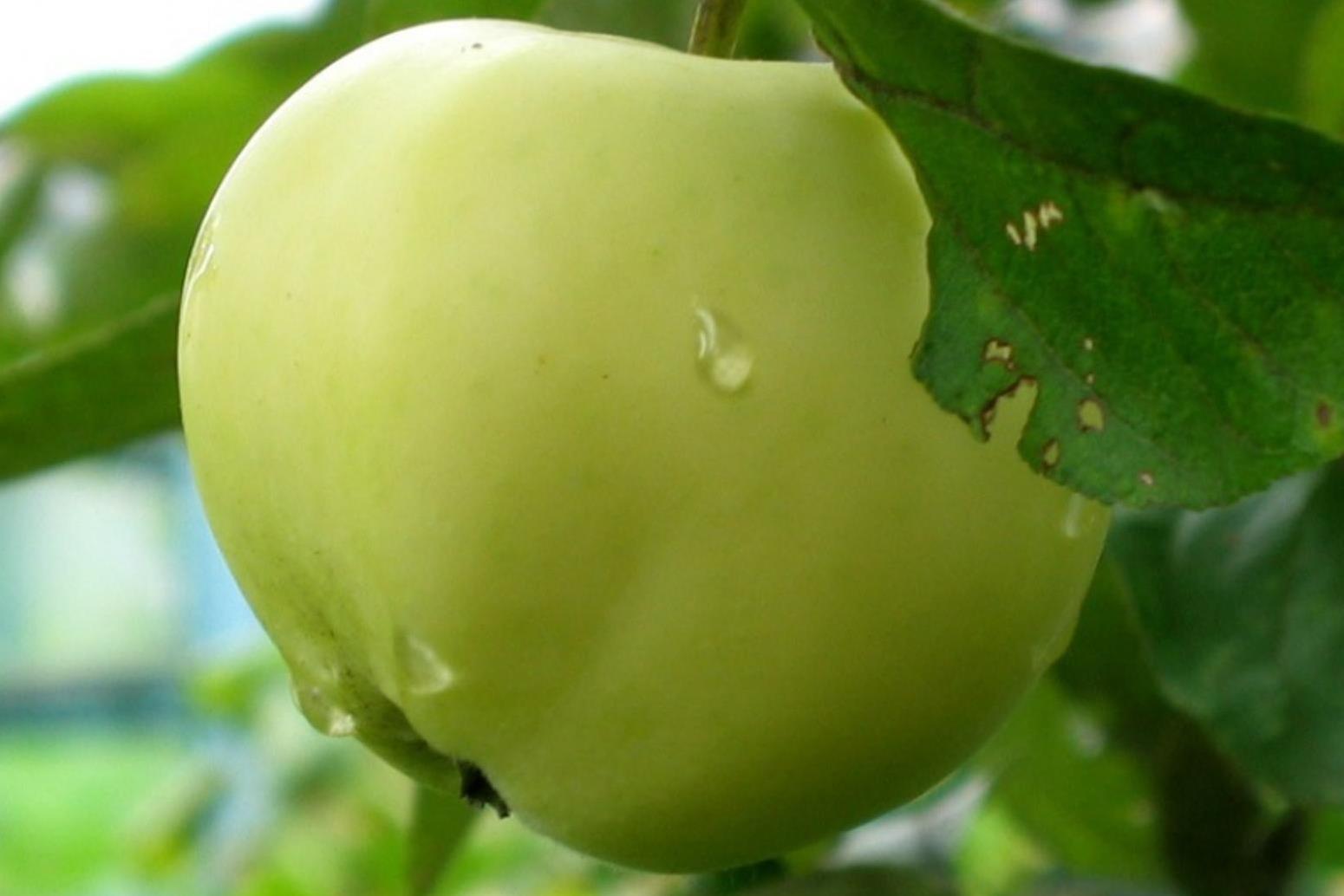 Картинки по запросу Периодичность плодоношения яблони