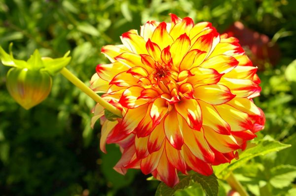 kakie-cvety-mozhno-sazhat-na-dache-v-iyule
