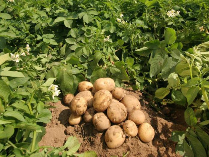 Картинки по запросу Что сажать до и после помидоров? картофель