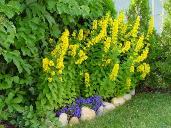 katalog-mnogoletnih-cvetov-dlya-dachi-foto-s-nazvaniyami-11