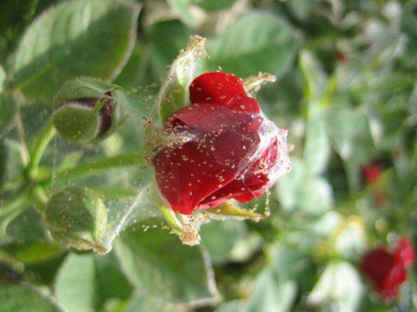klesh-pautinniy-na-roze-1024x768