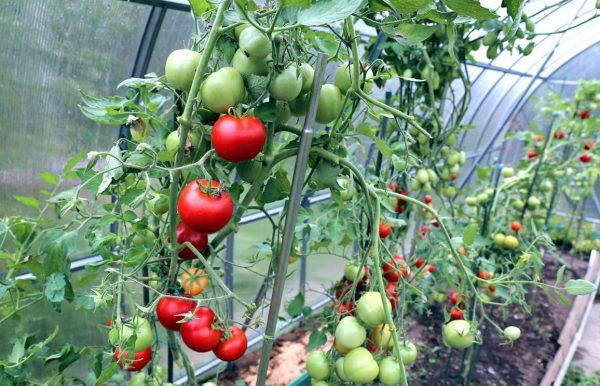 kogda-luchshe-snimat-pomidory-v-teplice