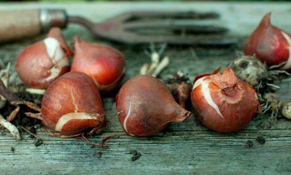 lukovici-tjulpanov