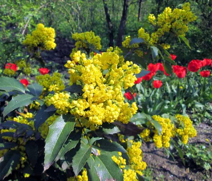 Картинки по запросу Вечнозеленые растения. Магония падуболистная