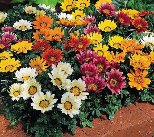 odnoletnie-cvety-dlya-klumby