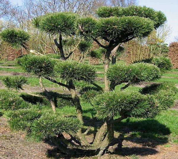 originalnyy-bonsay-sosna