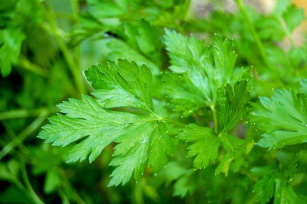 plant-de-persil-bio