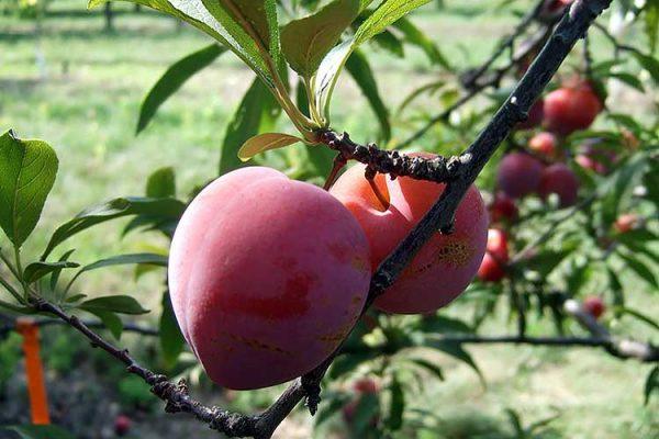 plum-fruit-big