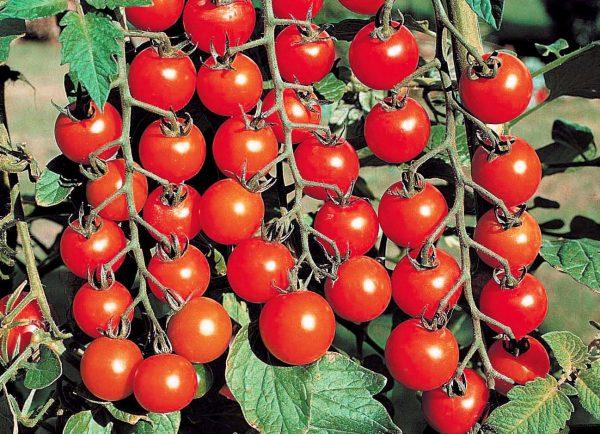 pomidory_cherri_vyrashchivanie.jpg.crop_display