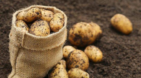 posadka-kartofelya