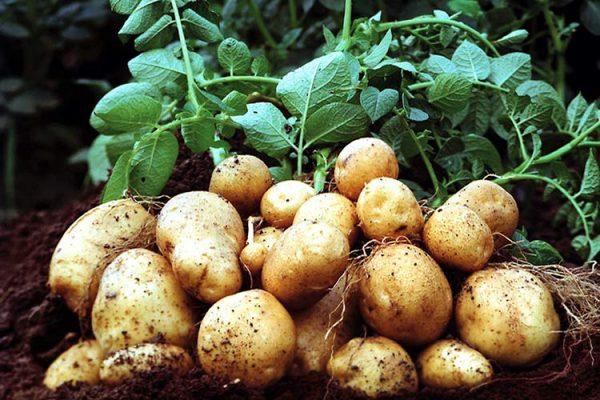 potato-basfbig