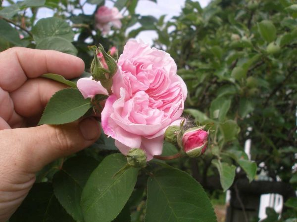rambler-rose