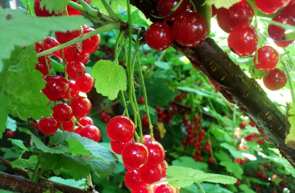 red-currants-kak-vyraschivat-smorodinu
