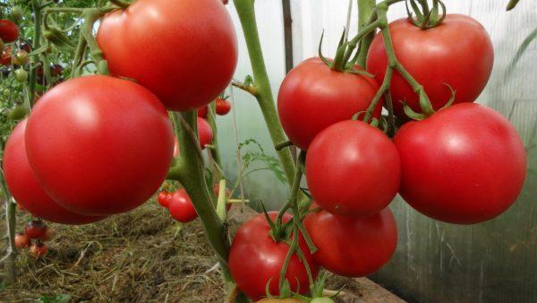 tomat-lyubasha