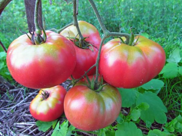 tomat_Mikado_rozovyy_2_25112739