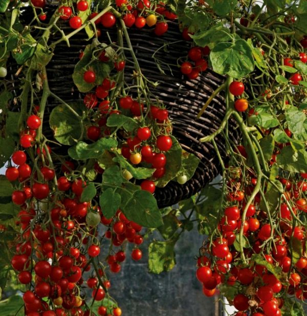 tomato-cherry-cascade
