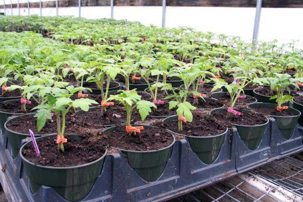 tomato-seedlings-greenhouse