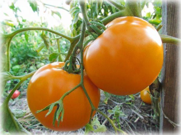 tomato1_0