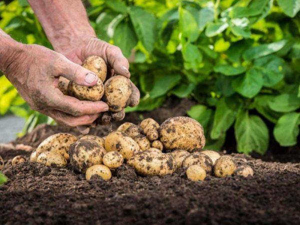 vybiraem-samyy-vkusnyy-kartofel