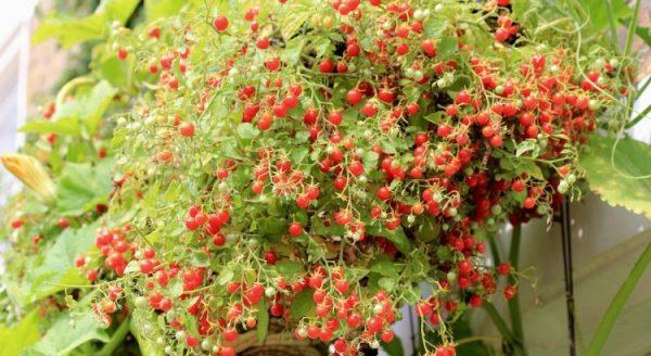 vyrashchivanie-pomidorov-cherri-na-balkone-750x410