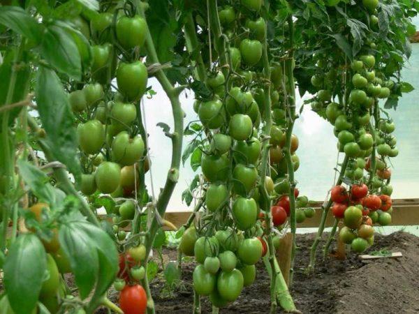 vyrashhivanie-pomidorov-v-teplice-iz-polikarbonata-podrobnaya-instrukciya2