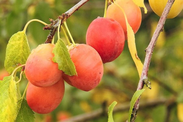 yellow-plums-1525415_640