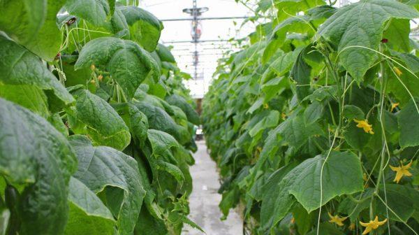 100_million_hydroponic_cucumber_farm_to_create_350_jobs_in_Australia