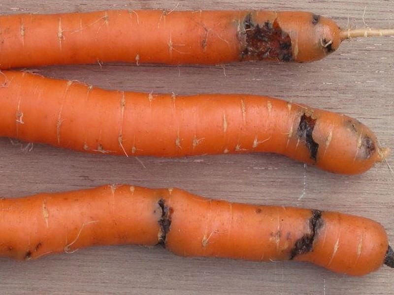 Картинки по запросу Сухая гниль моркови