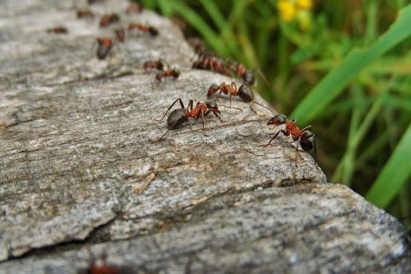 Ants-Ant-Macro-Closeup-Nature-Detail-Of-Wood-2028276