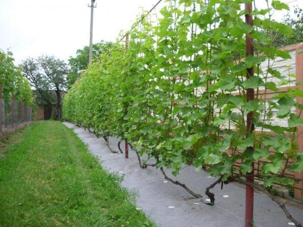Vsevozmozhnye-sposoby-vyrashhivaniya-vinograda