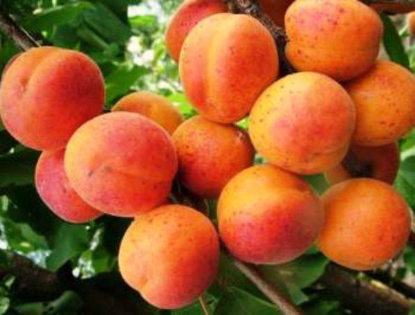 abrikos-2