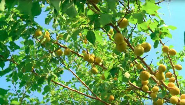 abrikosy-chelyabinskoy-selekcii