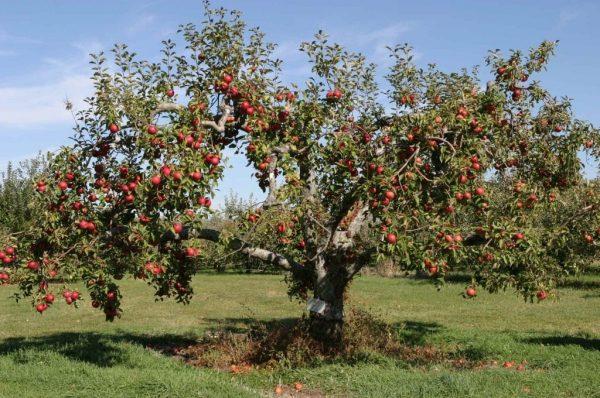 apple_tree_3