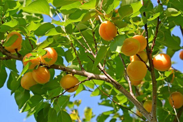 apricot-tree-e1453714779307
