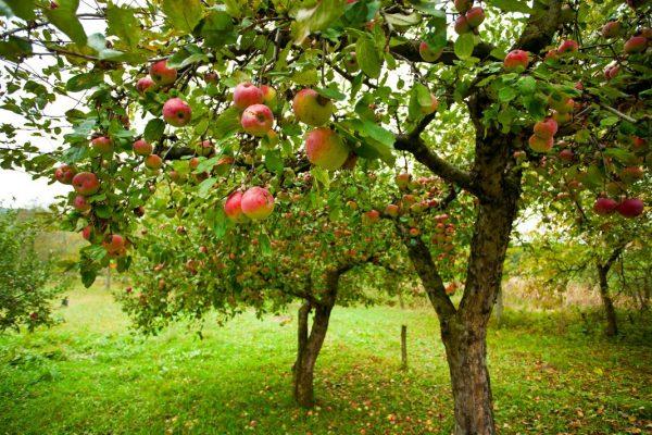 autumn-orchard-apple-01-1