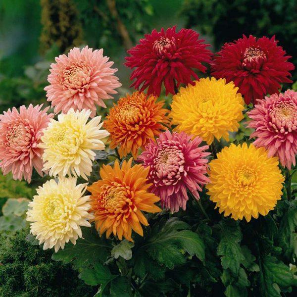chrysanthemumReal