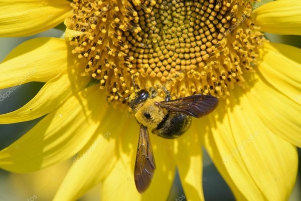 depositphotos_58720185-stock-photo-closeup-of-a-bee-on